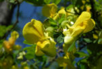 Strauch Kronwicke Bluete gelb Hippocrepis emerus 05