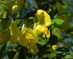 Strauch Kronwicke Bluete gelb Hippocrepis emerus 06