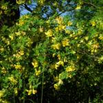 Bild: Strauch-Kronwicke Blüte gelb Hippocrepis emerus