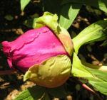 Strauch Paeonie Bluete purpurrot Paeonia sufffruticosa 01
