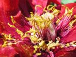 Strauch Paeonie Bluete purpurrot Paeonia sufffruticosa 04