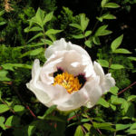 Strauch Paeonie Bluete weiss gelblich Paeonia sufffruticosa 02