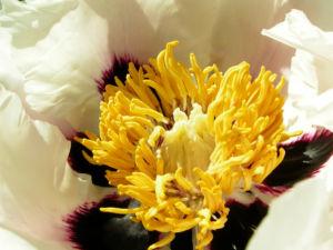 Strauch Paeonie Bluete weiss gelblich Paeonia sufffruticosa 03