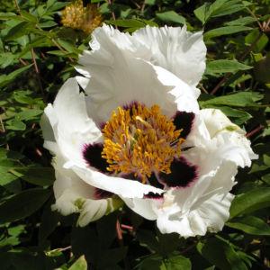 Strauch Paeonie Bluete weiss gelblich Paeonia sufffruticosa 04