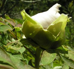 Strauch Paeonie Bluete weiss gelblich Paeonia sufffruticosa 05