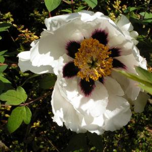 Strauch Paeonie Bluete weiss gelblich Paeonia sufffruticosa 06
