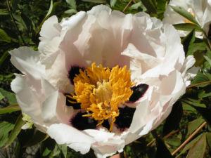Strauch Paeonie Bluete weiss gelblich Paeonia sufffruticosa 07