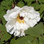 Strauch Paeonie Bluete weiss Paeonia sufffruticosa 02
