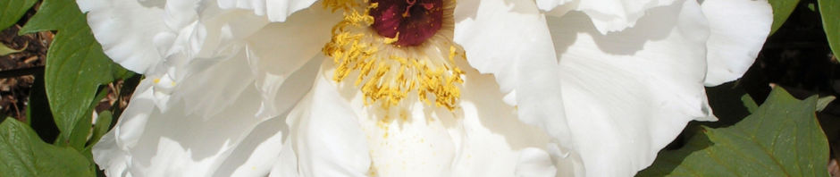 strauch-paeonie-bluete-weiss-paeonia-suffruticosa