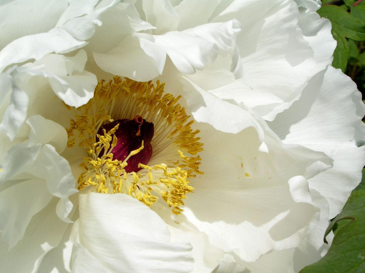 Strauch Paeonie Bluete weiss Paeonia sufffruticosa