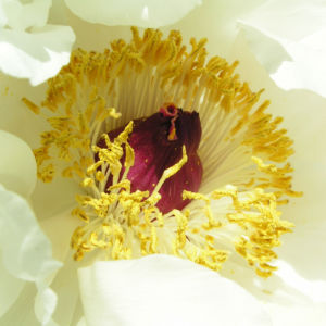 Strauch Paeonie Bluete weiss Paeonia sufffruticosa 06