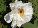 Strauch Paeonie Bluete weiss Paeonia sufffruticosa 07