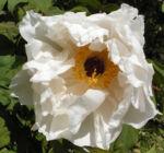 Strauch Paeonie Bluete weiss Paeonia sufffruticosa 08