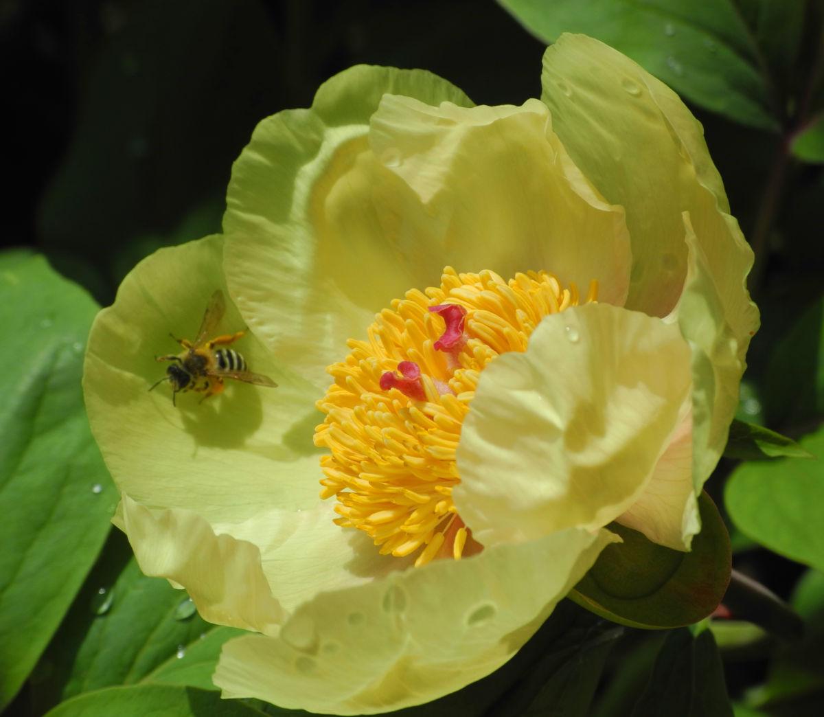 Strauch Pfingstrose Bluete gelb Paeonia suffruticosa