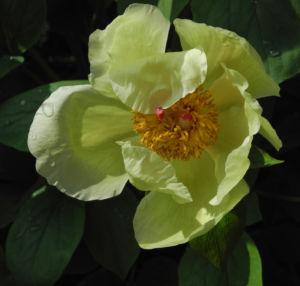 Strauch Pfingstrose Bluete gelb Paeonia suffruticosa 13