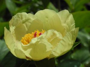 Strauch Pfingstrose Bluete gelb Paeonia suffruticosa 16