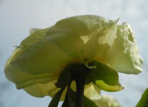 Strauch-Pfingstrose Blüte gelb Paeonia suffruticosa