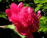 Strauch Pfingstrose Bluete pink Paeonia suffruticosa 03