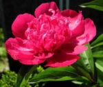 Strauch Pfingstrose Bluete pink Paeonia suffruticosa 04