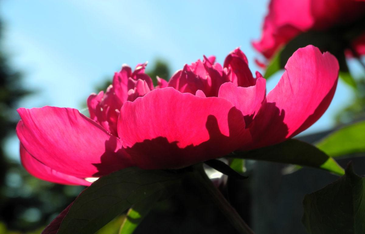 Strauch Pfingstrose Bluete pink Paeonia suffruticosa
