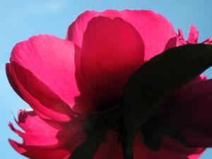 Strauch Pfingstrose Bluete pink Paeonia suffruticosa 19