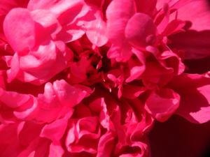 Strauch Pfingstrose Bluete pink Paeonia suffruticosa 20