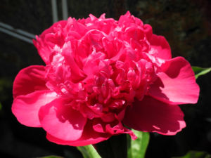 Strauch-Pfingstrose Blüte pink Paeonia suffruticosa