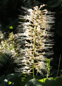 Bild: Strauch Rosskastanie Bluete weiss Aesculus parviflora