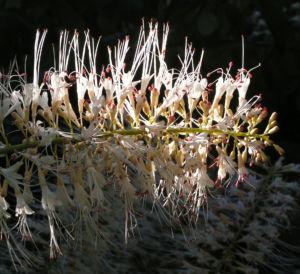Strauch Rosskastanie Bluete weiss Aesculus parviflora 04