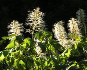 Strauch Rosskastanie Bluete weiss Aesculus parviflora 05