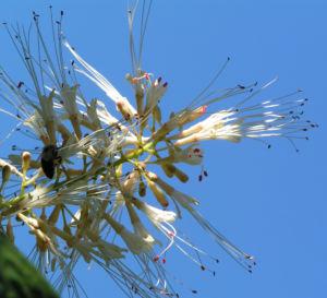 Strauch Rosskastanie Bluete weiss Aesculus parviflora 07