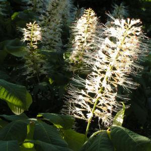 Strauch Rosskastanie Bluete weiss Aesculus parviflora 13