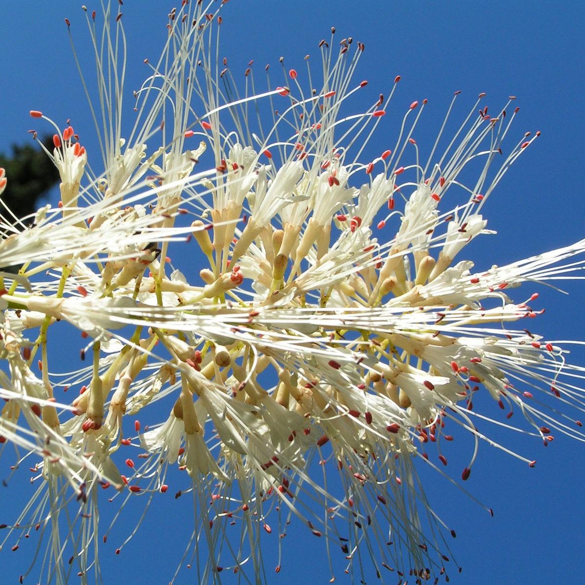 Strauch Rosskastanie Bluete weiss Aesculus parviflora