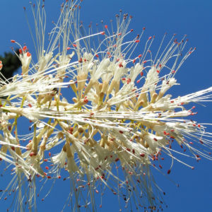 Strauch Rosskastanie Bluete weiss Aesculus parviflora 15