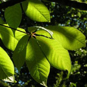 Strauch Rosskastanie Bluete weiss Aesculus parviflora 17