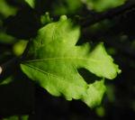 Straucheibisch Blatt gruen Hibiscus syriacus 01