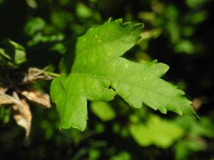 Straucheibisch Blatt gruen Hibiscus syriacus 02