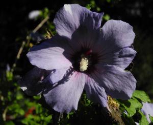 Straucheibisch Bluete lila Hibiscus syriacus 03