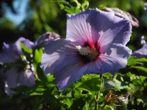 Straucheibisch Bluete lila Hibiscus syriacus 04