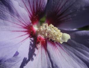 Straucheibisch Bluete lila Hibiscus syriacus 06