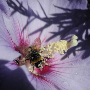 Straucheibisch Bluete lila Hibiscus syriacus 13