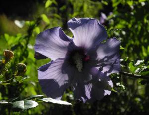 Straucheibisch Bluete lila Hibiscus syriacus 18
