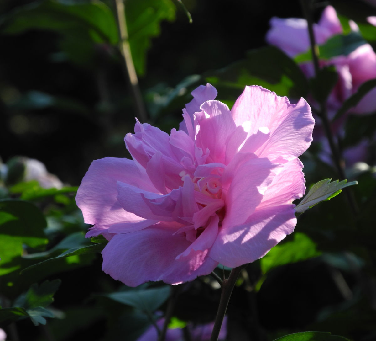 Straucheibisch Bluete rose Hibiscus syriacus