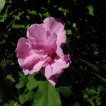 Straucheibisch Bluete rose Hibiscus syriacus 06