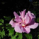 Straucheibisch Bluete rose Hibiscus syriacus 08