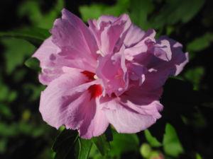 Straucheibisch Bluete rose Hibiscus syriacus 09