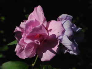 Straucheibisch Bluete rose Hibiscus syriacus 10