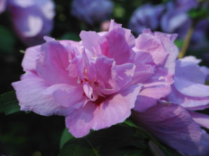 Straucheibisch Bluete rose Hibiscus syriacus 11