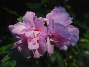 Straucheibisch Bluete rose Hibiscus syriacus 14