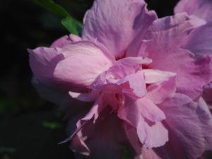 Straucheibisch Bluete rose Hibiscus syriacus 15
